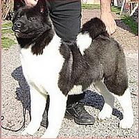 Gran Perro Japonés