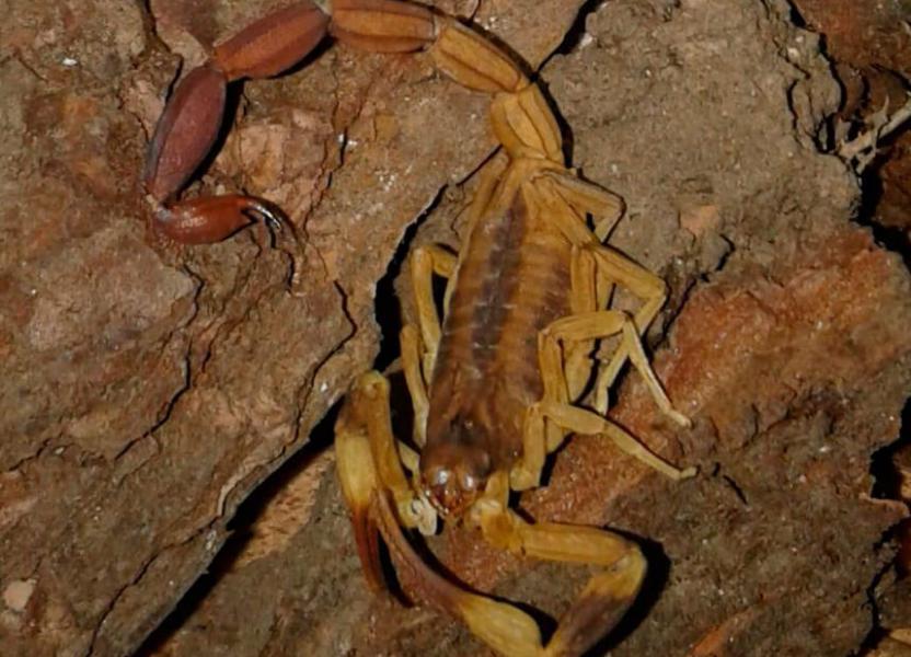Recomendaciones ante la aparición de alacranes (escorpiones)