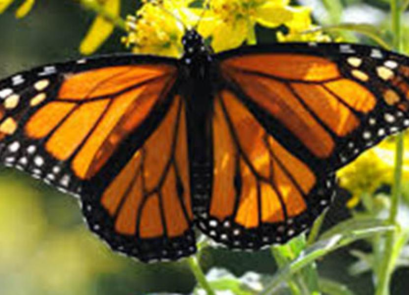 imagen-mariposa-monarca