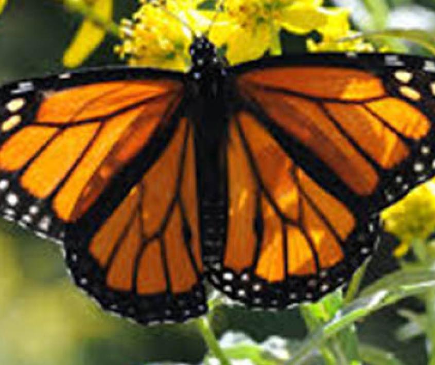 Llenar la ciudad de mariposas Monarca